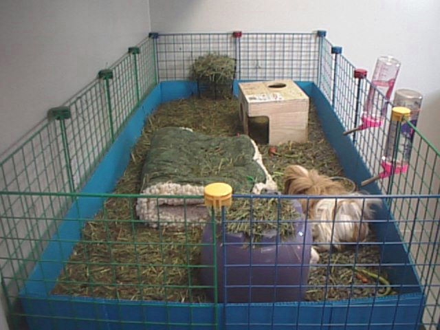 guinea pig cages basics of guinea pig care 640x480